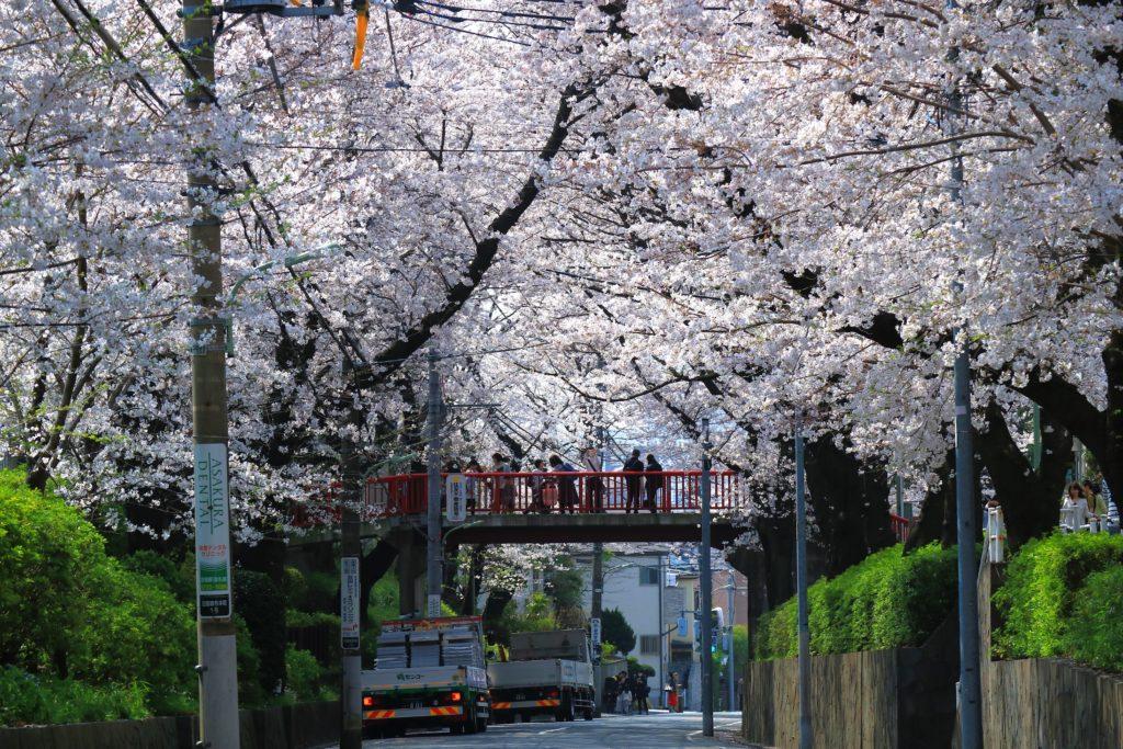 大田区沼部のさくら坂の桜