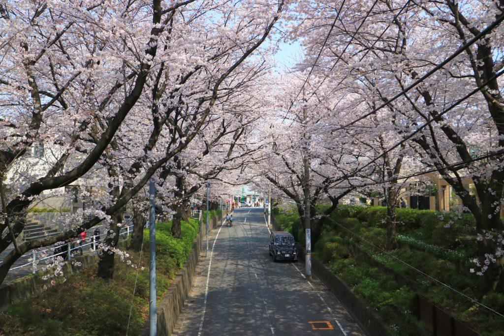 大田区のさくら坂の桜