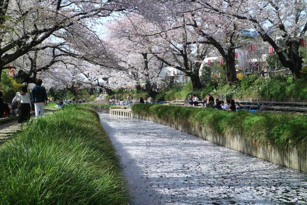 元荒川の桜筏
