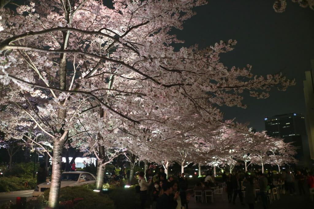 東京ミッドタウン夜桜