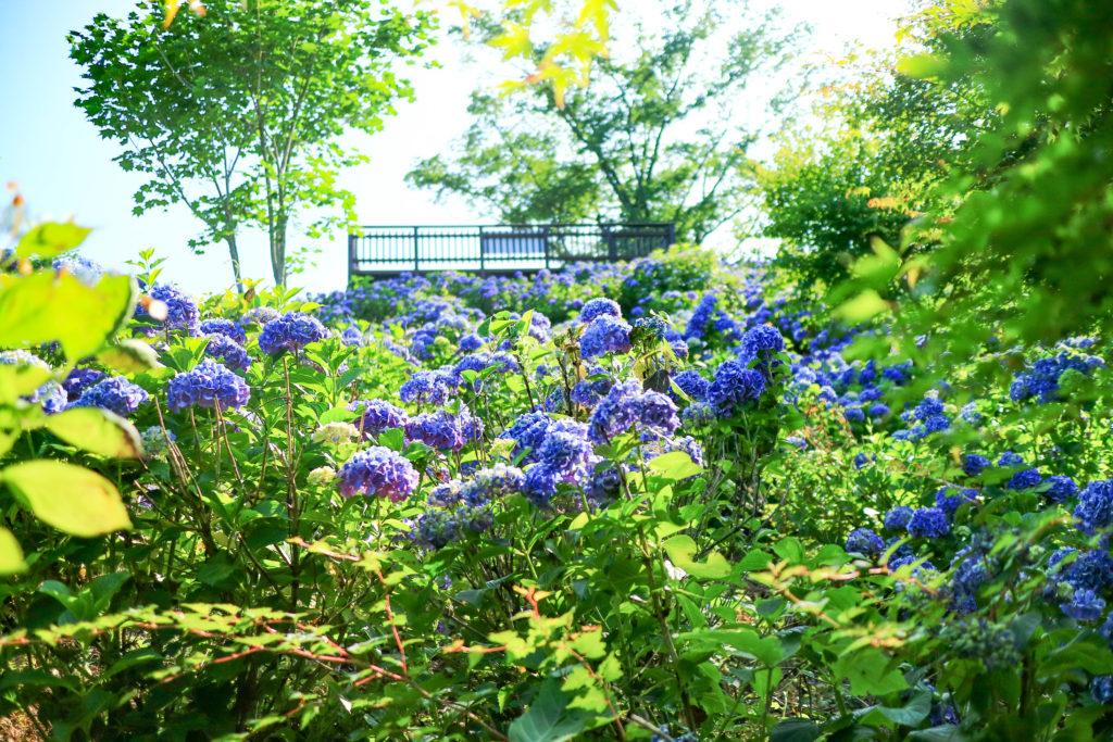 埼玉県秩父のあじさい(紫陽花)の丘「美の山公園」