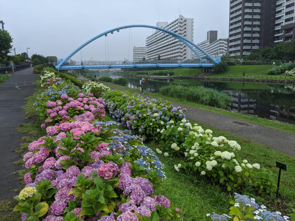 ふれあい橋と紫陽花