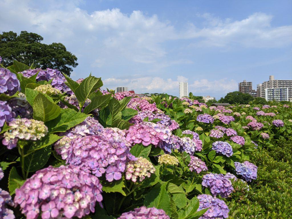 小岩菖蒲園の紫陽花