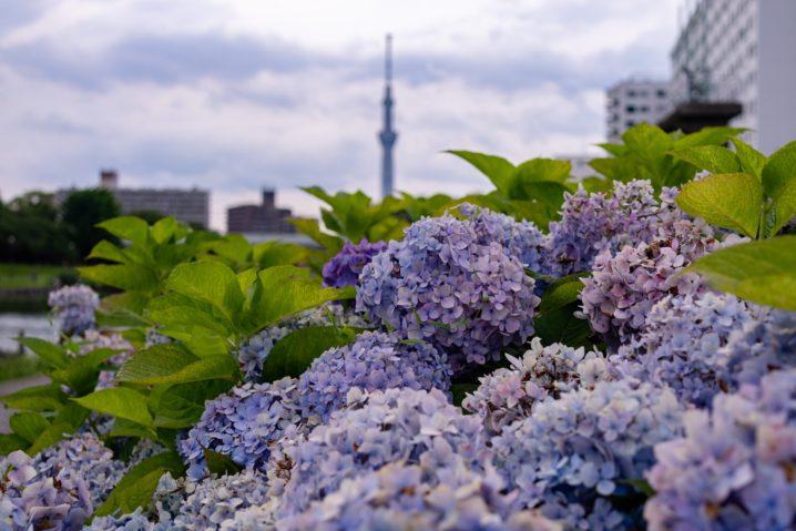 ふれあい橋でスカイツリーと紫陽花1