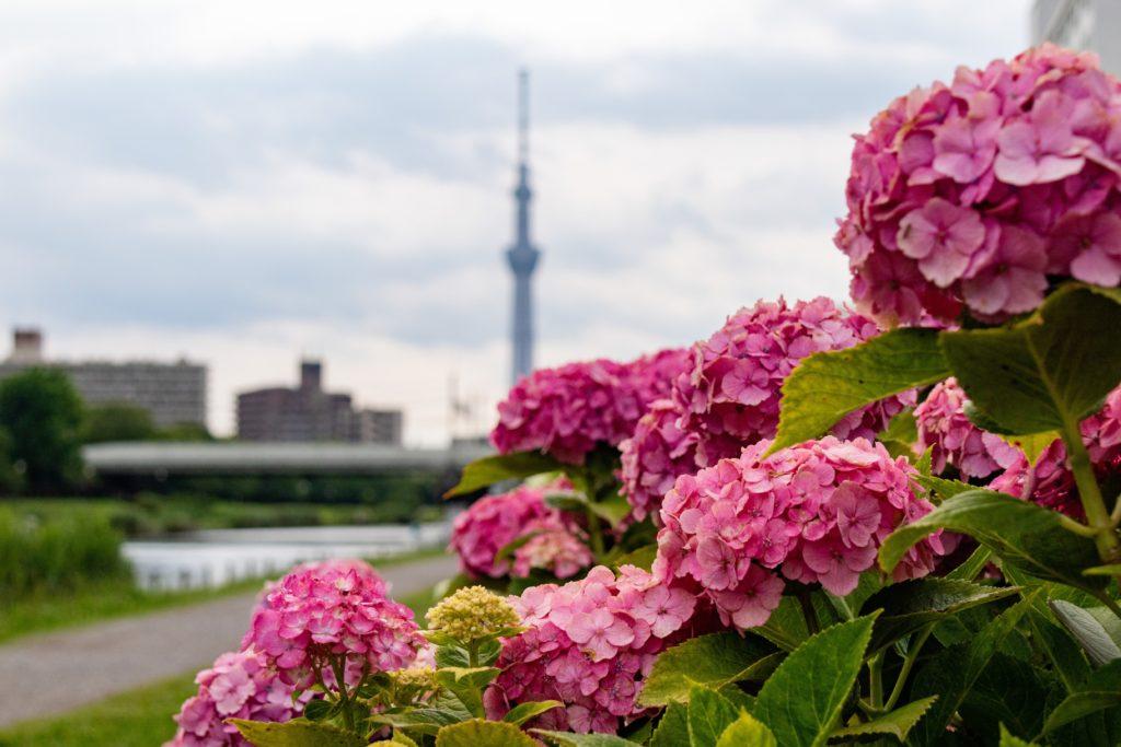 ふれあい橋でスカイツリーと紫陽花3