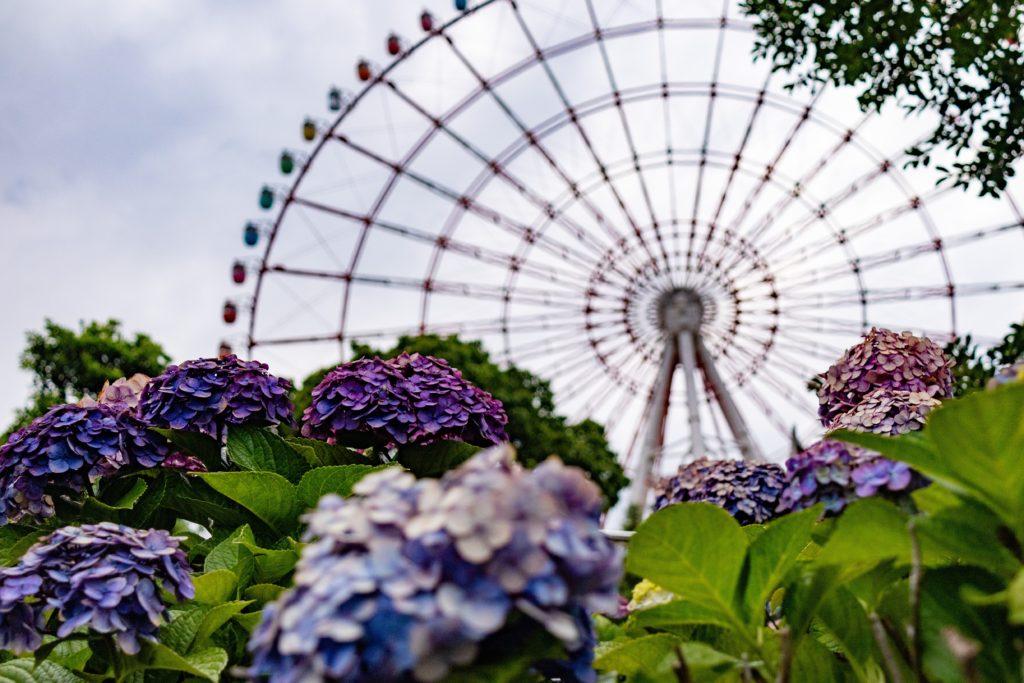 お台場水の広場公園で紫陽花と観覧車を撮影