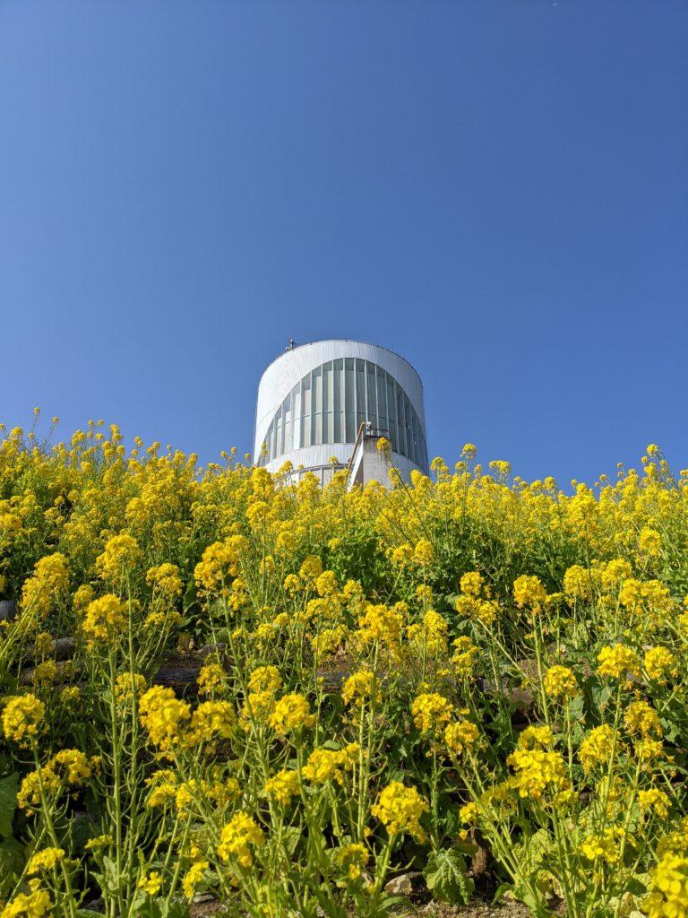 松田山ハーブガーデンの菜の花畑