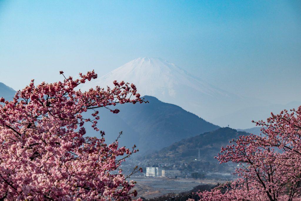 西平畑公園で富士山と河津桜の撮影スポット