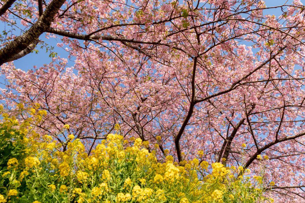 西平畑公園の河津桜と菜の花の見頃、撮影スポット
