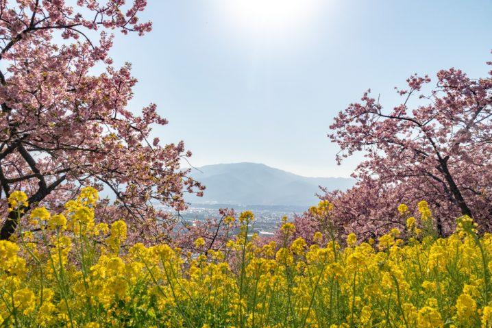 西平畑公園の河津桜と菜の花ごしに街を見下ろす