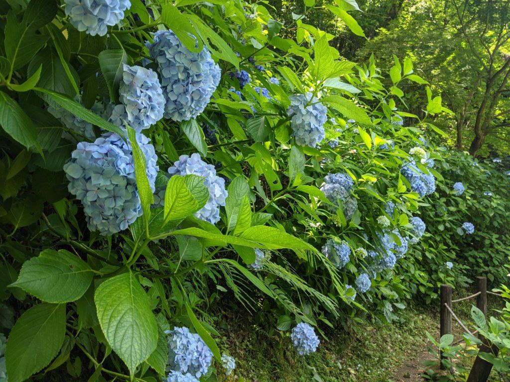 佐賀唐津の見帰りの滝の遊歩道の紫陽花の写真
