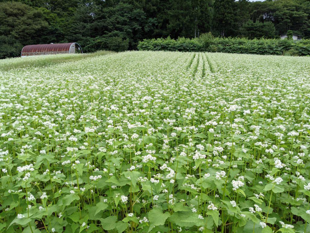 長野県戸隠のそば畑(蕎麦の花)