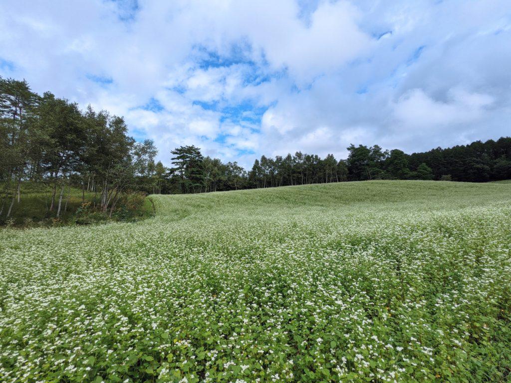 長野県中山高原のそば畑(蕎麦の花)